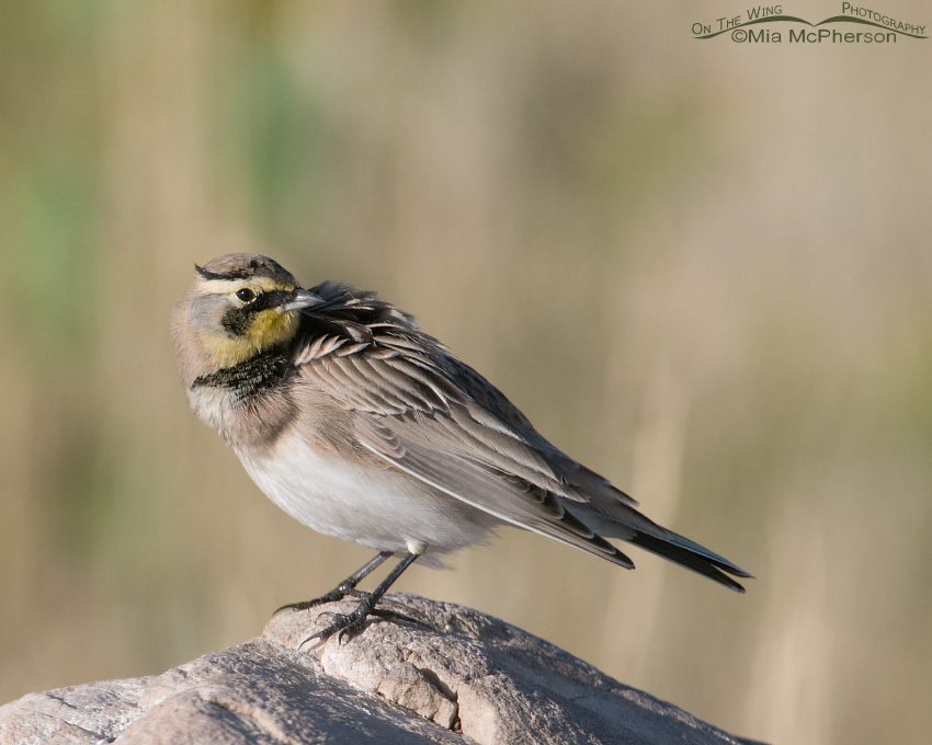 Horned Lark and the Paparazzi pose