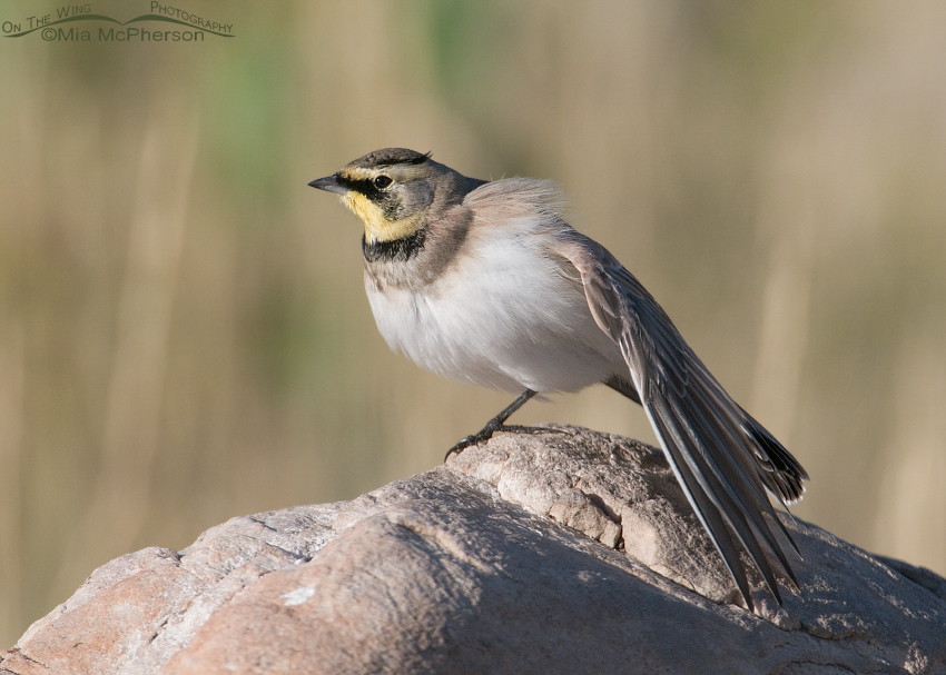Horned Lark stretching one more time