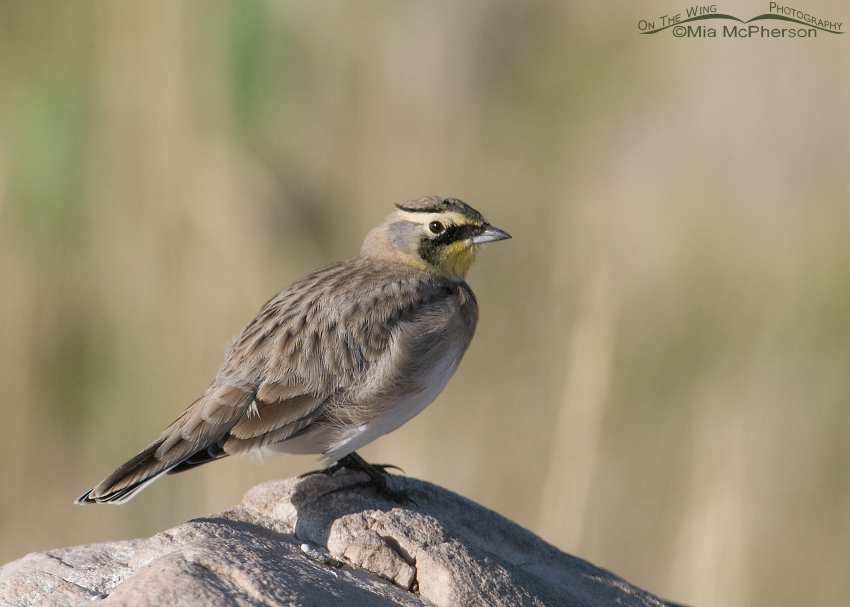 A Horned Lark almost done preening