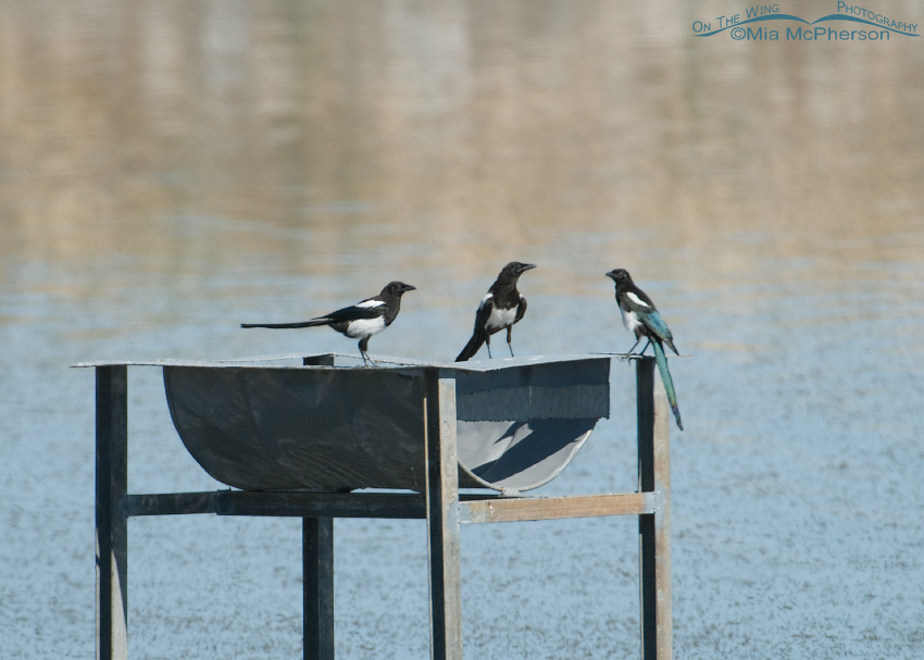 Black-billed Magpies near Willet young