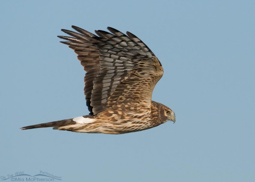 Northern Harrier female in flight