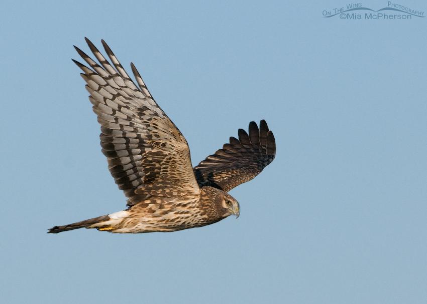 Northern Harrier female flying along Antelope Island Causeway