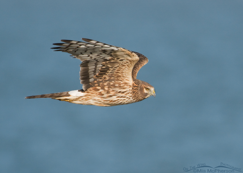 Northern Harrier with the Great Salt Lake in the background
