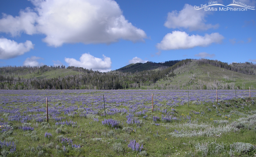 Centennial Valley Lupines