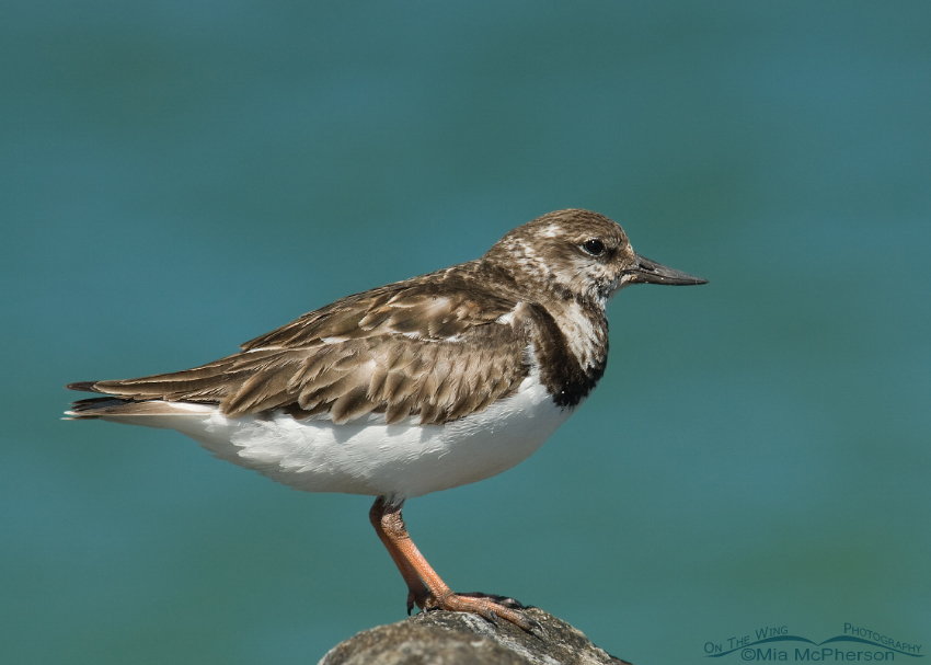 Ruddy Turnstone in nonbreeding plumage
