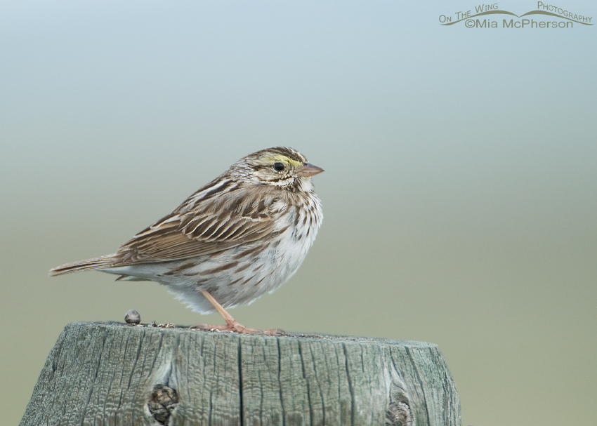 Savannah Sparrow in the fog