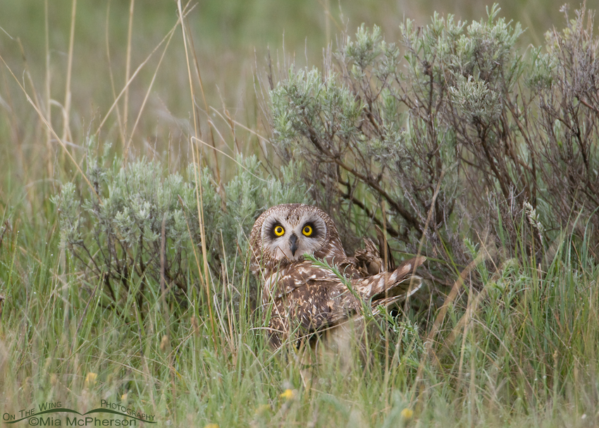 Short-eared Owl female at nest