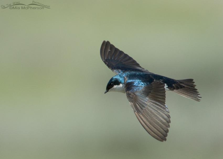Male Tree Swallow in flight