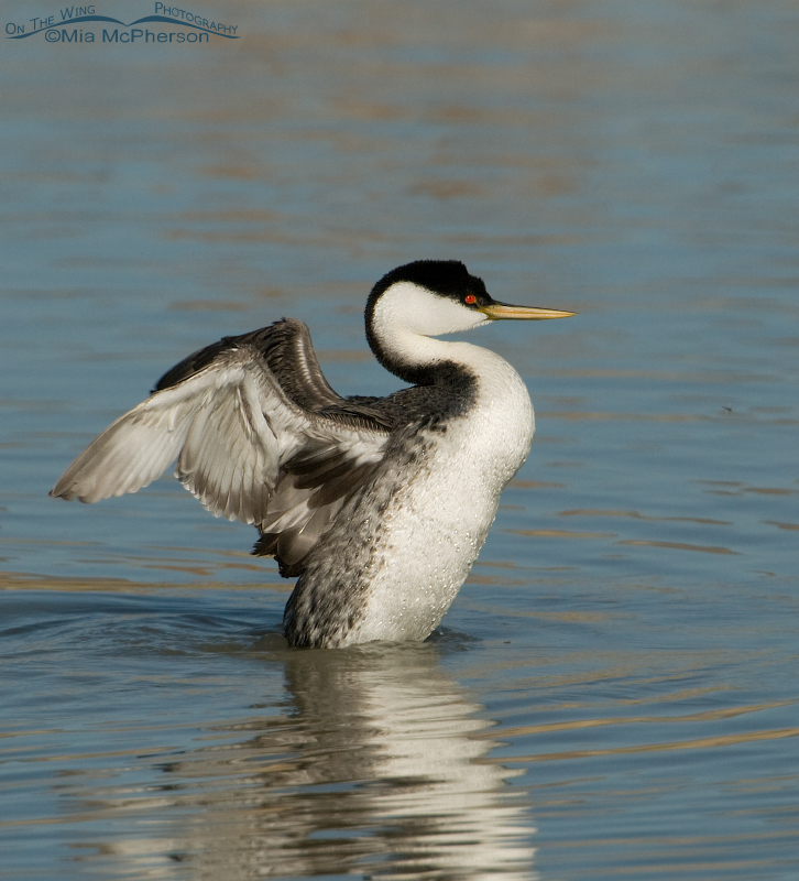 Western Grebe flapping its wings