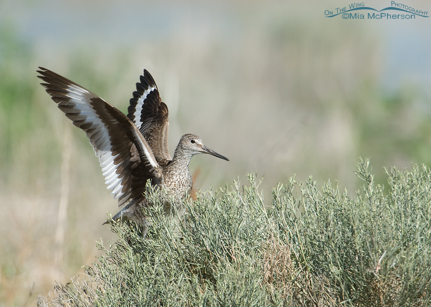 Adult Willet with wings raised