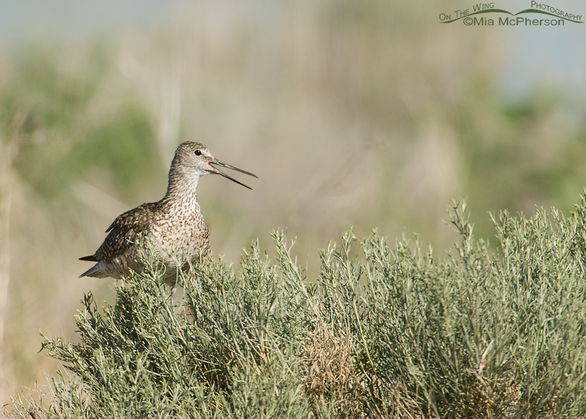 Alarmed adult Willet calling