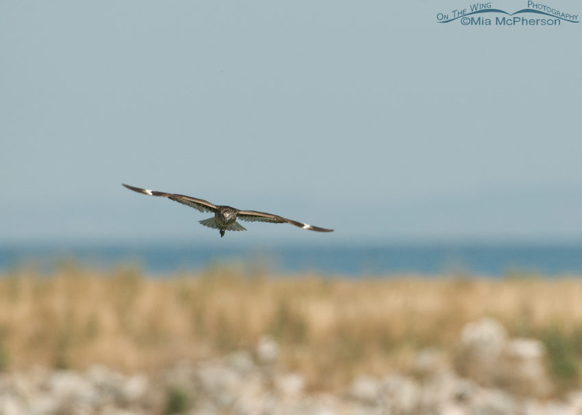 Willet in flight after flying towards Black-billed Magpies