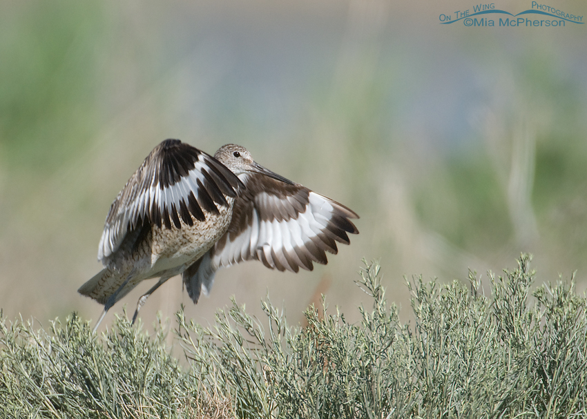 Willet lift off
