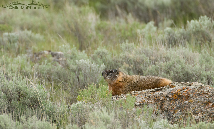 Yellow-bellied Marmot at Red Rock Lakes NWR