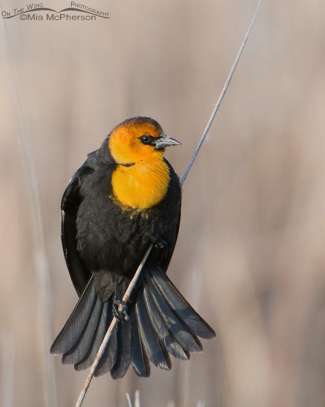 Male Yellow-headed Blackbird displaying