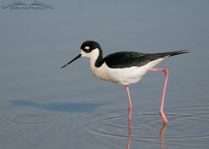 Black-necked Stilt at Bear River Migratory Bird Refuge