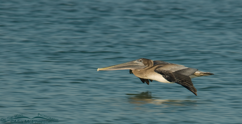 Juvenile Brown Pelican gliding over the Gulf of Mexico