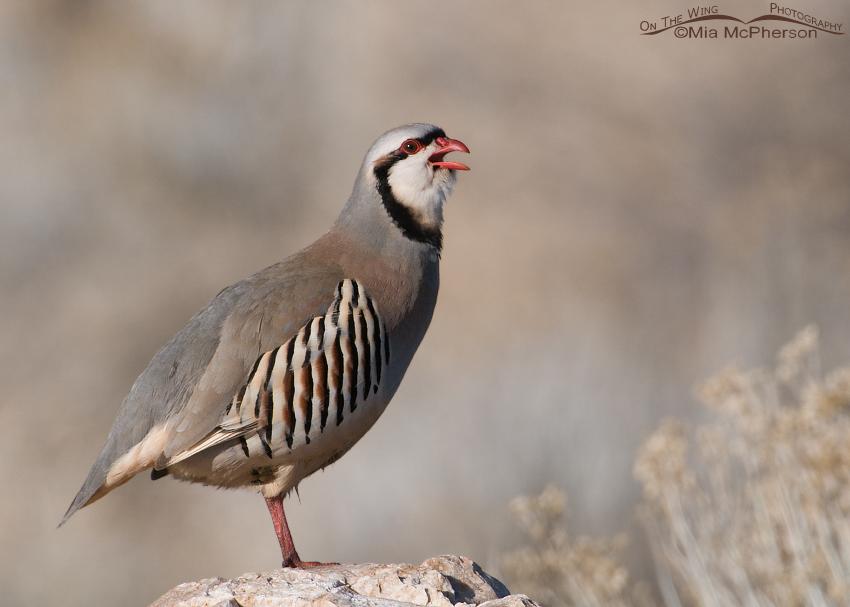 Chukar calling on Antelope Island State Park
