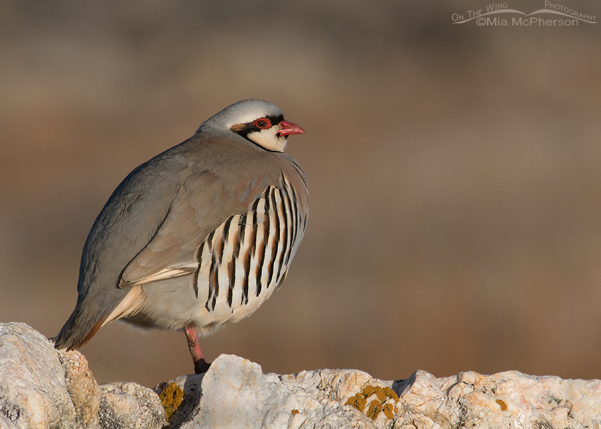 Chukar warming up on the rocks