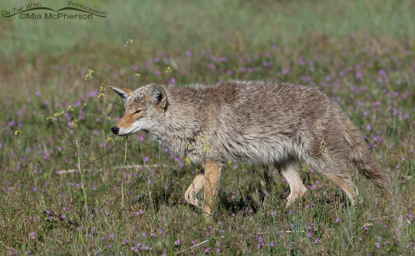 Coyote hunting in a field with Filaree and Black Mustard