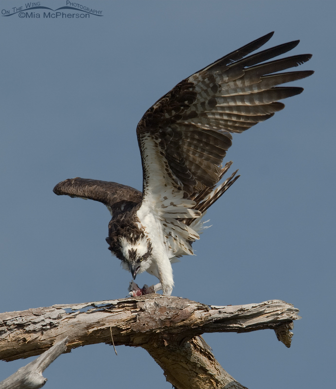 Female Osprey in a defensive posture at Honeymoon Island State Park