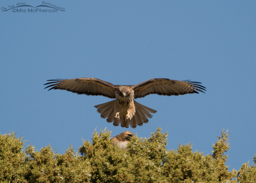 Red-tailed Hawk Courtship