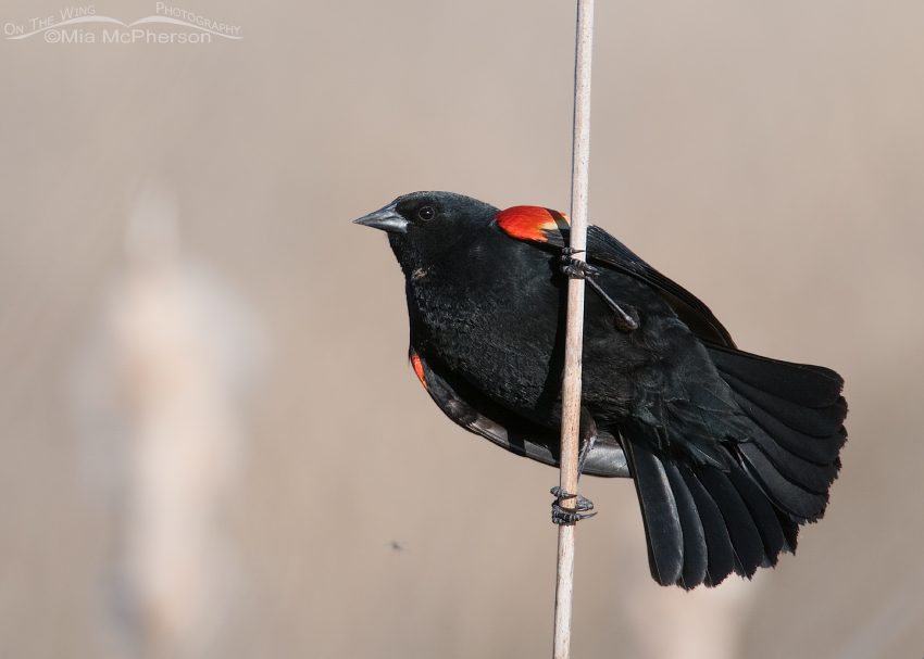 Male Red-winged Blackbird on a Cattail