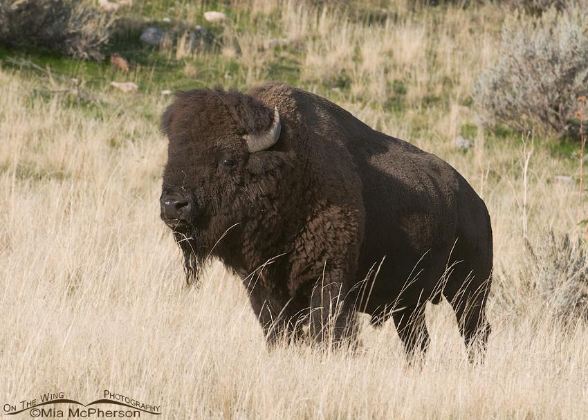 Bison bull on Antelope Island