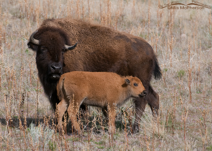 American Bison cow and young calf