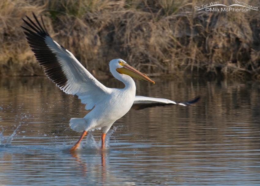 Landing American White Pelican