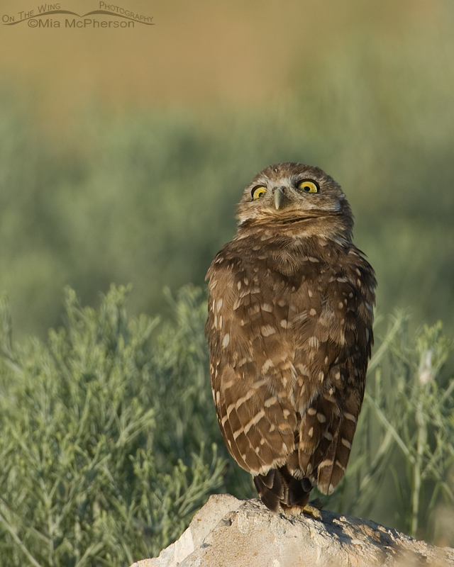 Juvenile Burrowing Owl looking high in the sky