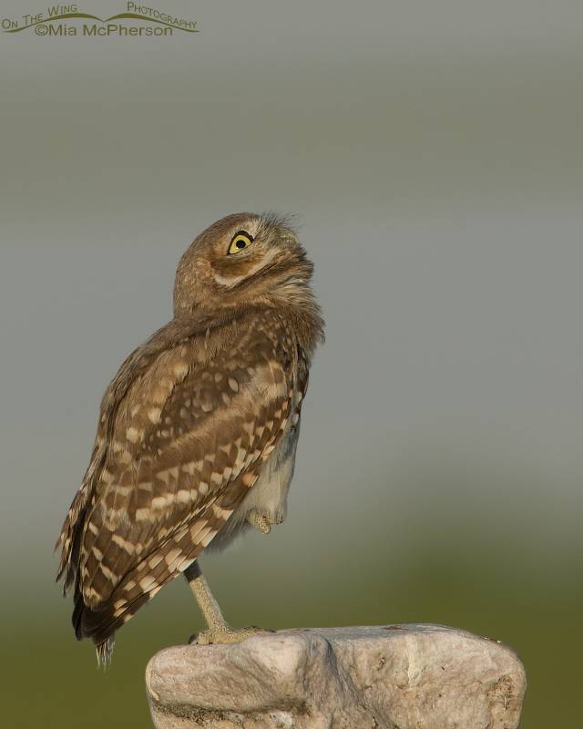 Young Burrowing Owl with an eye on the sky