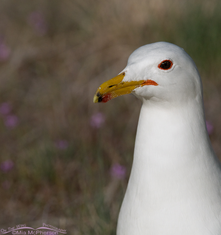 Portrait of a California Gull