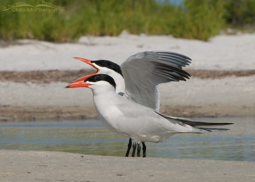 A Pair of Caspian Terns in breeding plumage