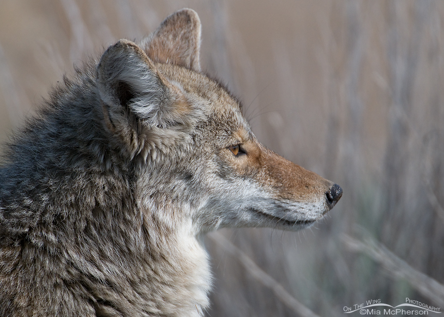 A Noble Beast - Coyote Portrait