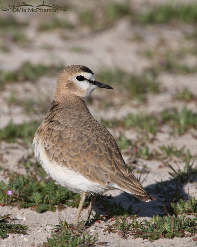 Female Mountain Plover