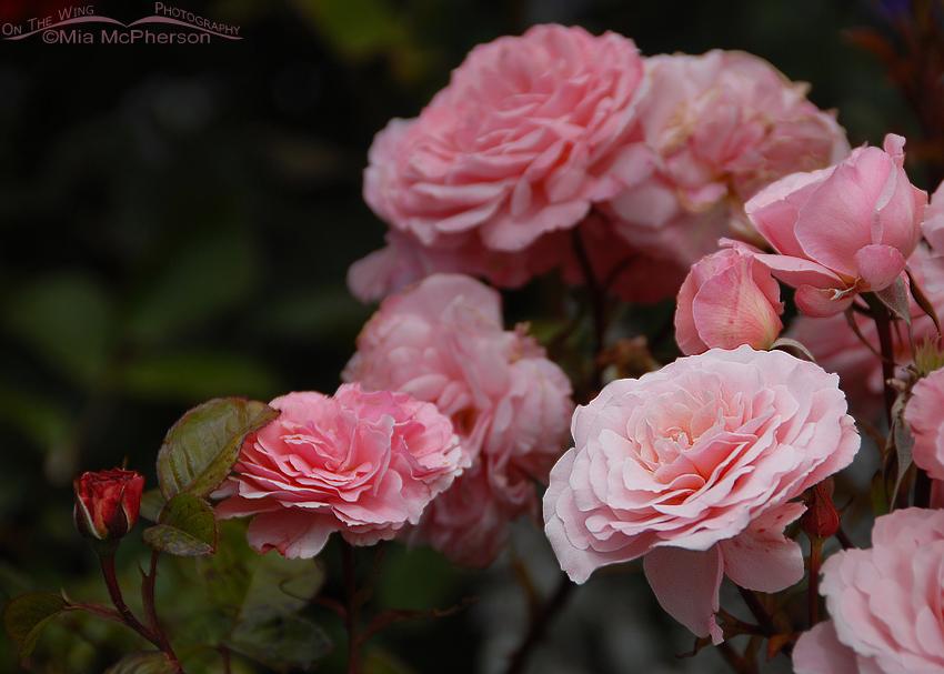 Roses in Dunedin, New Zealand