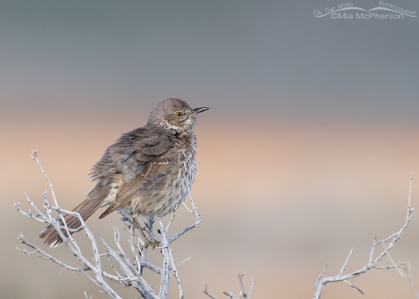 A fluffed up Sage Thrasher