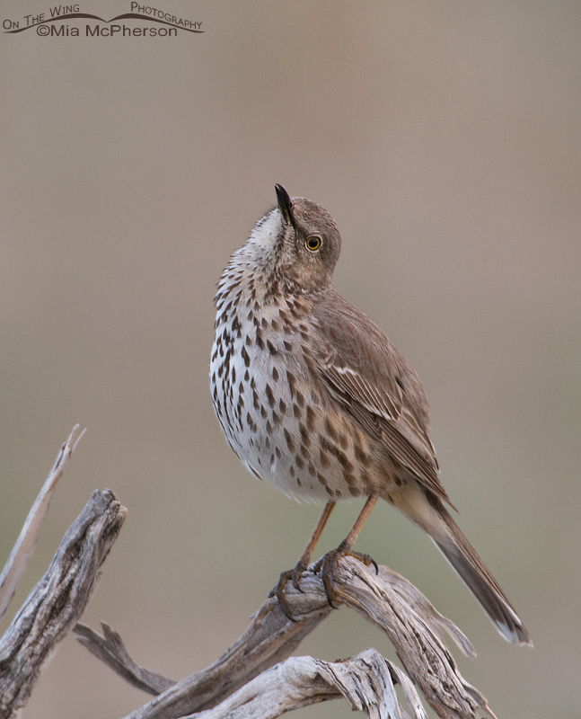 Sage Thrasher looking up