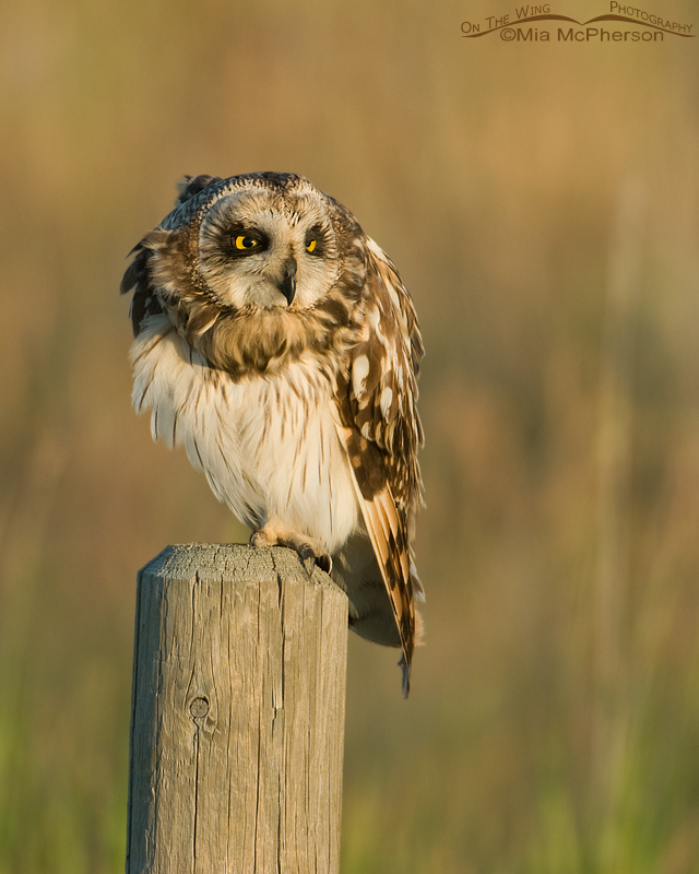 A goofy look from a Short-eared Owl