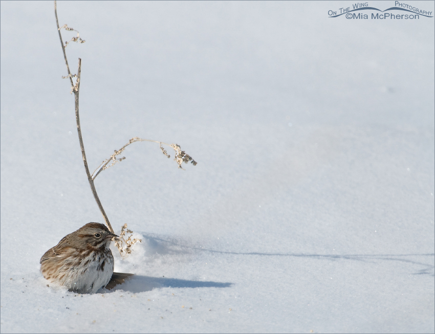 Song Sparrow foraging on a cold winter morning