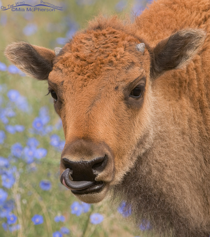 American Bison calf in a field with Lewis's Flax
