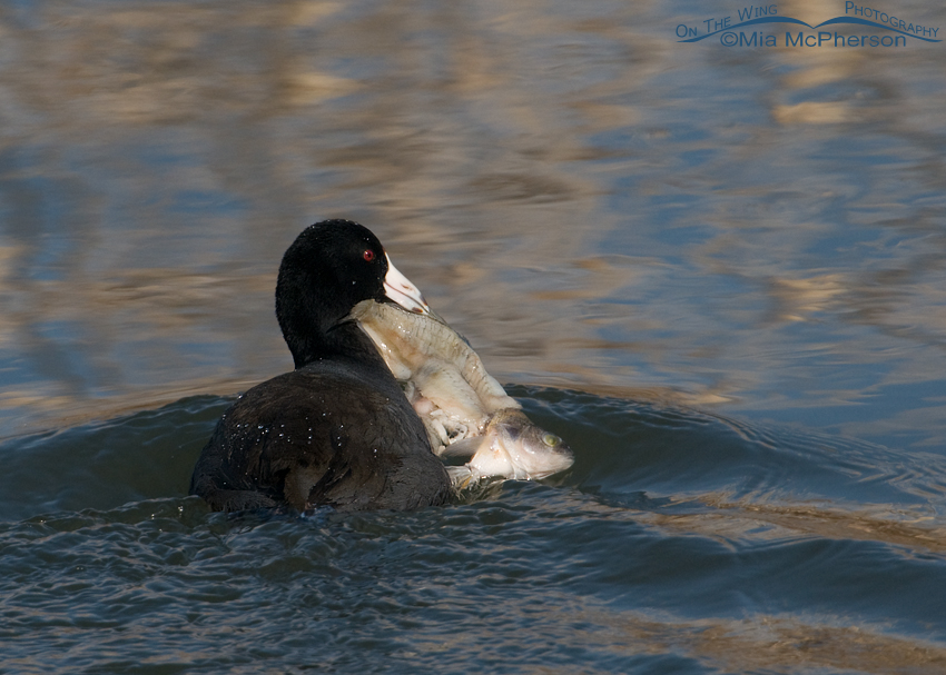 An American Coot with more than it can chew