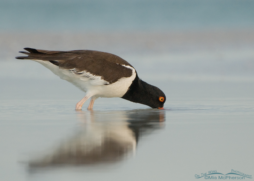 American Oystercatcher in pastel light