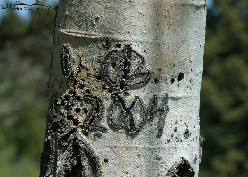Nesting tree - Aspen with carvings on it