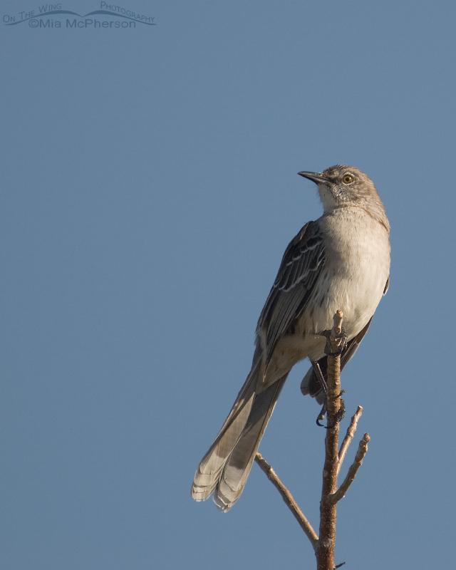 Perched Bahama Mockingbird