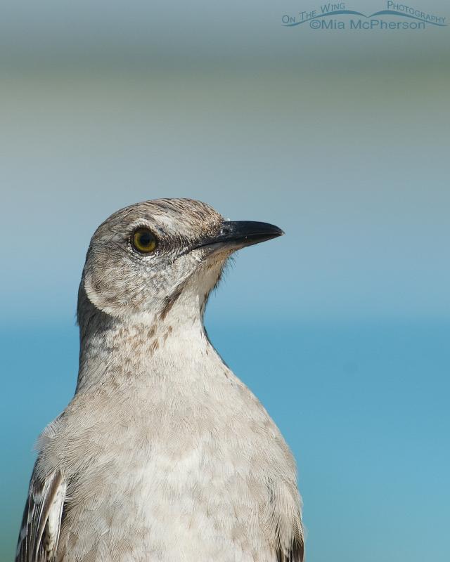 Bahama Mockingbird portrait