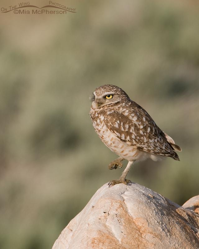 Burrowing Owl adult