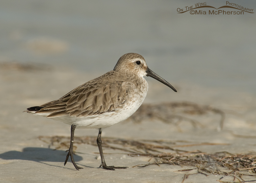 Dunlin in nonbreeding plumage