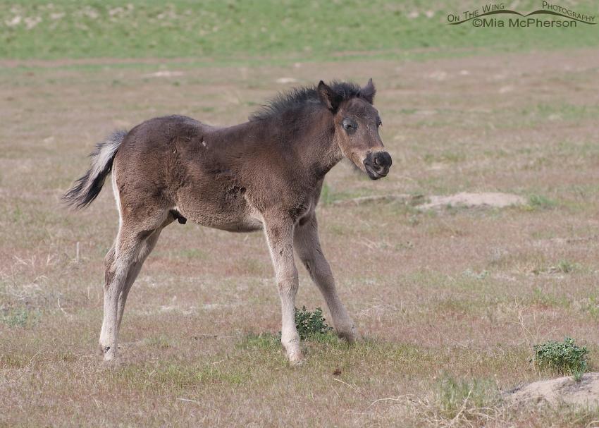 A wild Horse colt